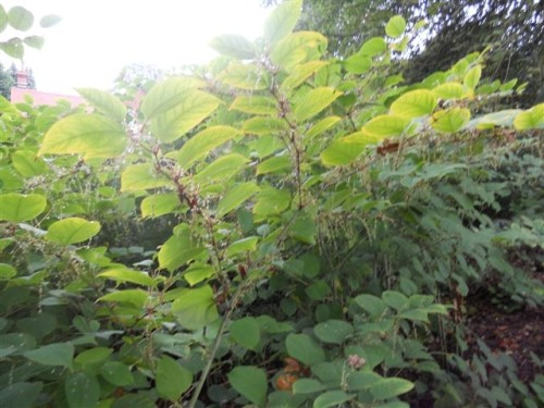 Japanese Knotweed close up